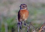 Stonechat on a former breeding territory at Maidens
