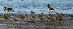 American and Europen Golden Plovers, © Dave Grant