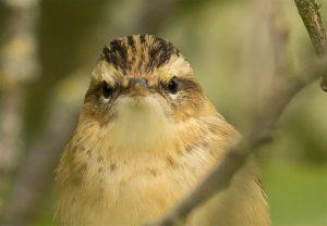 Sedge Warbler, ©Dave Grant